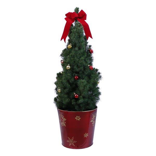 Alberta Spruce - Christmas Tree