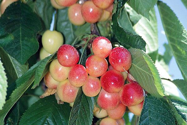 Prunus cerasus 'Rainer' SD