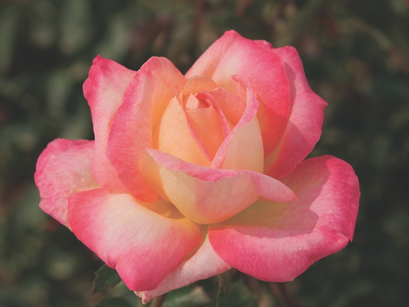 Love and Peace™ 'Balpeace' PP#14731