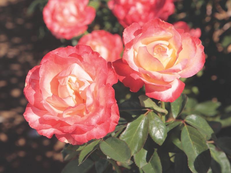 Mercury Rising™ Rosa 'Meilantmen' PPAF