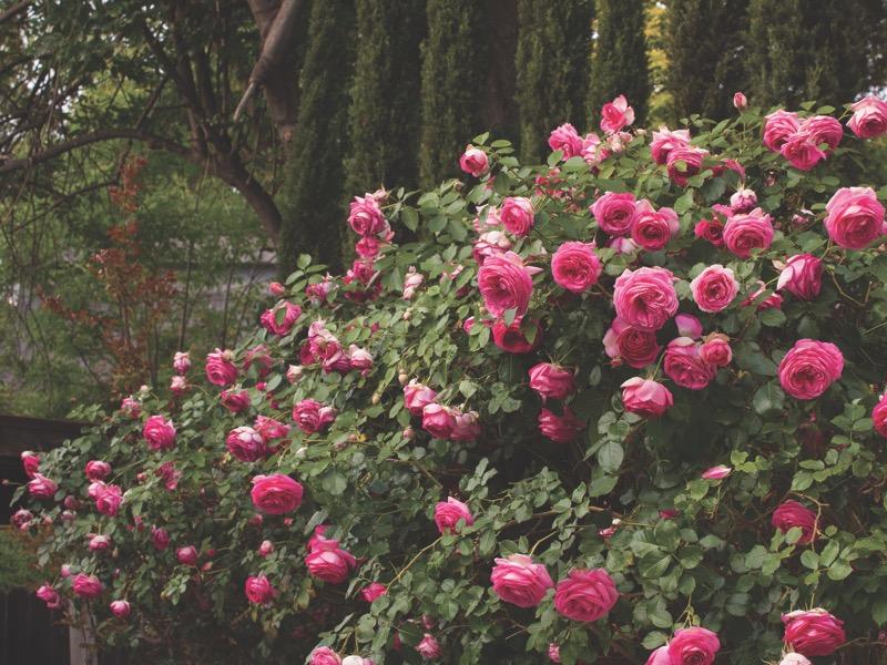 Pretty In Pink Eden™ 'Margaret Mae' PP#20953