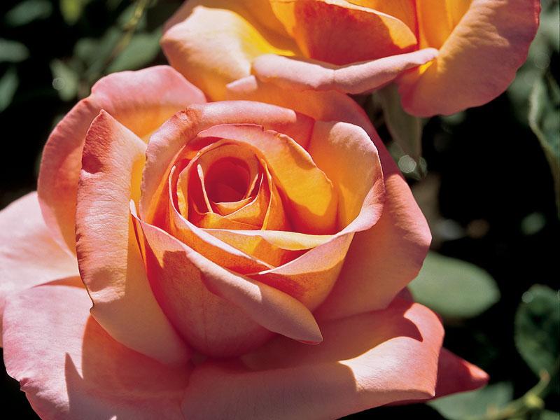 Tahitian Sunset™ Rosa 'Jacgodde' PP#19004