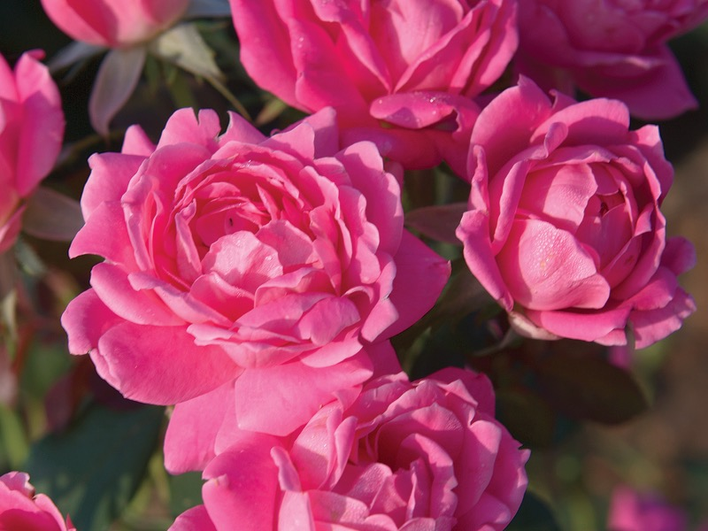 The Pink Double Knock Out® Rose 'Radtkopink' PP#18507