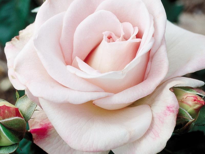 World War II Memorial Rose™ 'Wezgrey' PP#14433