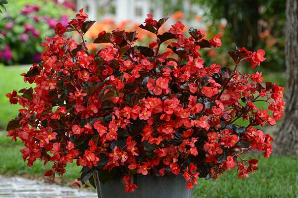 Begonia Megawatt Red Bronze Leaf Container