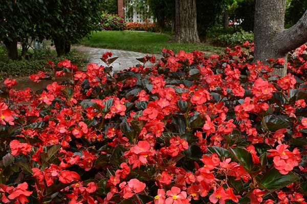 Begonia Megawatt Red Bronze Leaf Landscape
