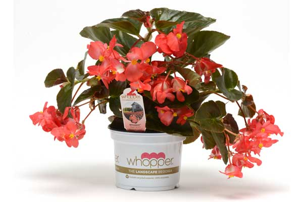 Begonia Whopper Red with Bronze Leaf Pot on Sweep
