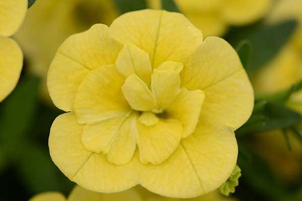 Calibrachoa MiniFamous Double Compact Lemon