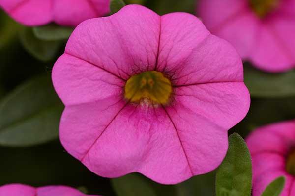 Calibrachoa MiniFamous Neo Pink