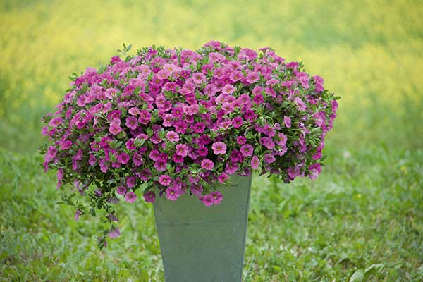 Calibrachoa MiniFamous Neo Pink Container