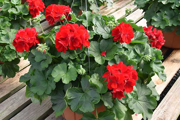 Geranium Calliope Dark Red