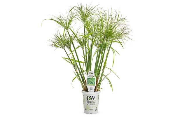 Graceful Grass Baby Tu