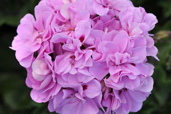 Geranium Ivy Precision Lavender Blue