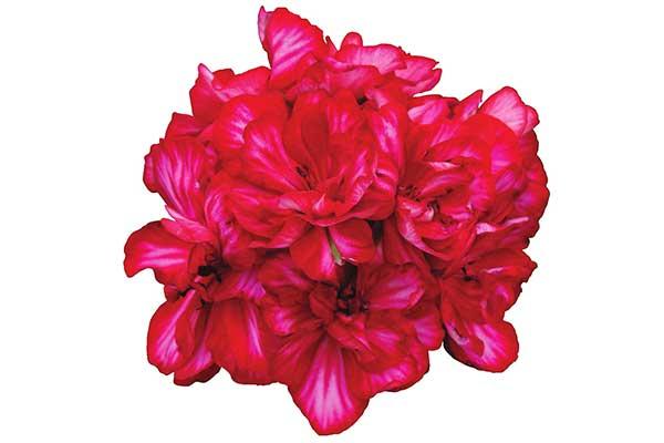 Geranium Ivy Precision Red Ice