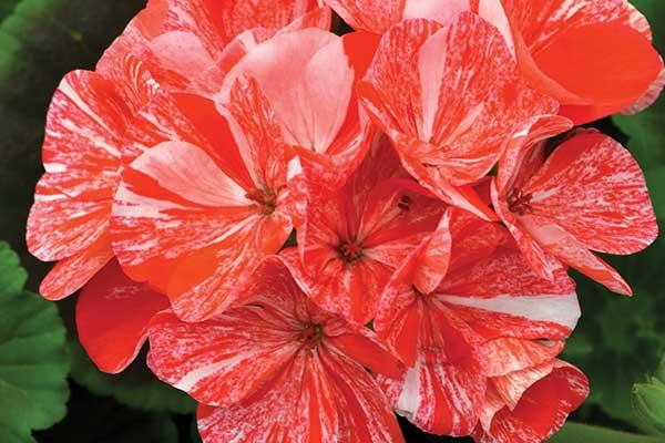 Pelargonium Glitter Orange