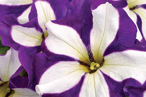 Petunia Crazytunia Lucky Lilac