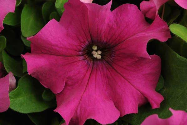 Petunia Pretty Grand Purple Bloom
