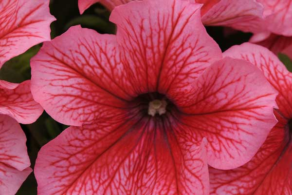 Petunia Pretty Grand Summer Bloom