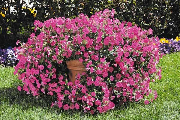 Petunia Pretty Grand Mixture Bloom