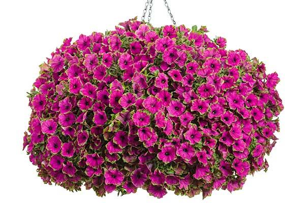Petunia Supertunia® Picasso in Purple®