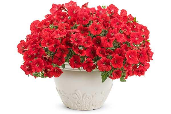 Petunia Supertunia® Really Red
