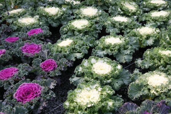 Cabbage & Kale