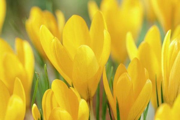 Crocuses: Golden Yellow