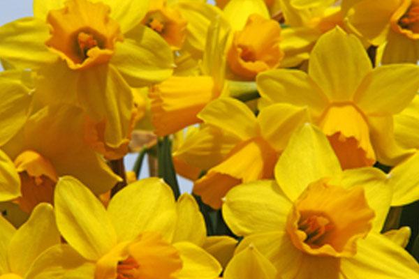 Daffodils: Narcissus Tête à Tête