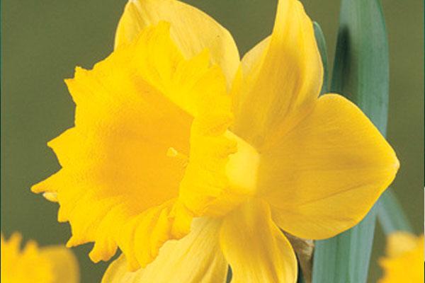 Daffodils: Narcissus Geranium
