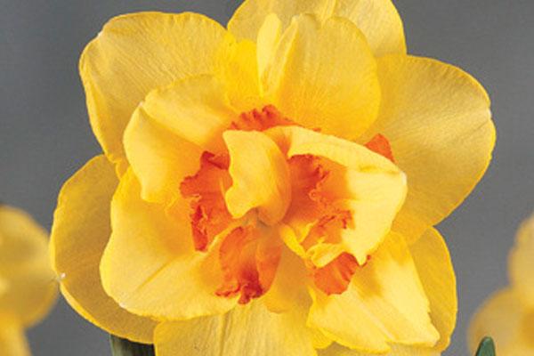Daffodils: Narcissus Dutch Master