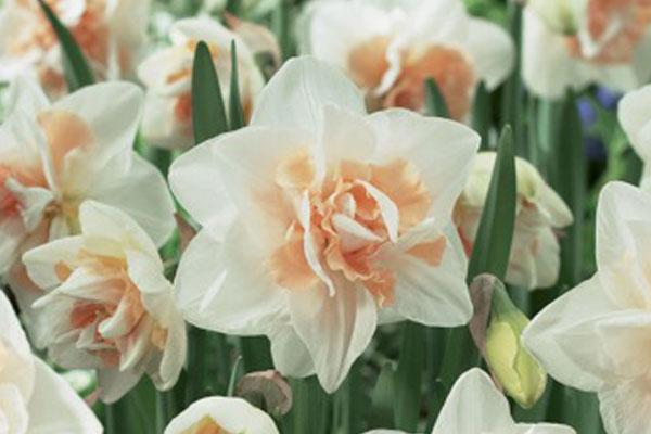 Daffodils: Delnashaugh