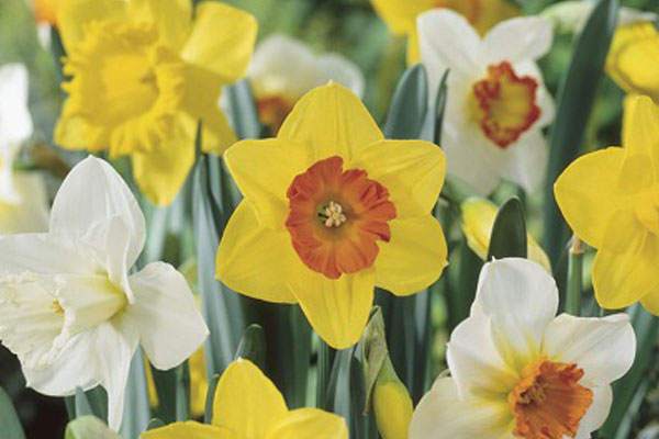 Daffodils: Narcissus Mixed