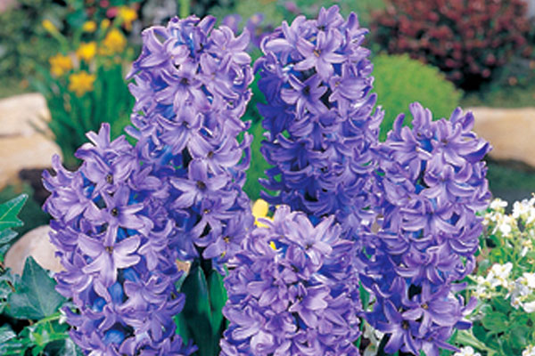 Hyacinths: Delft Blue