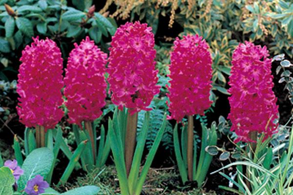 Hyacinths: Jan Bos