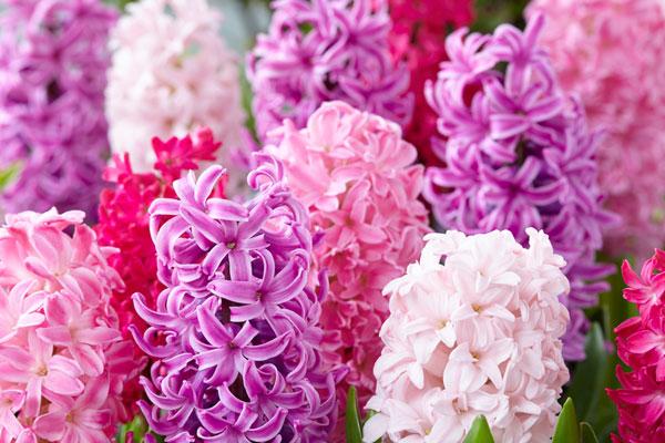 Hyacinths: Pink Mix