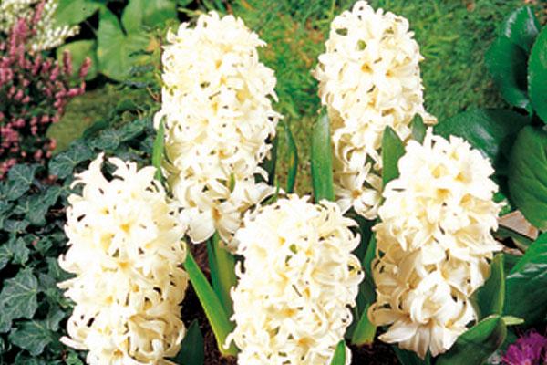 Hyacinths: White Pearl