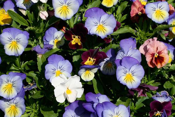 Multi-color Pansies