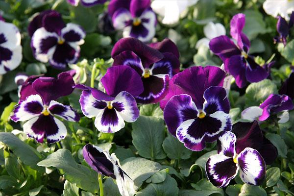 White-Purple Pansies