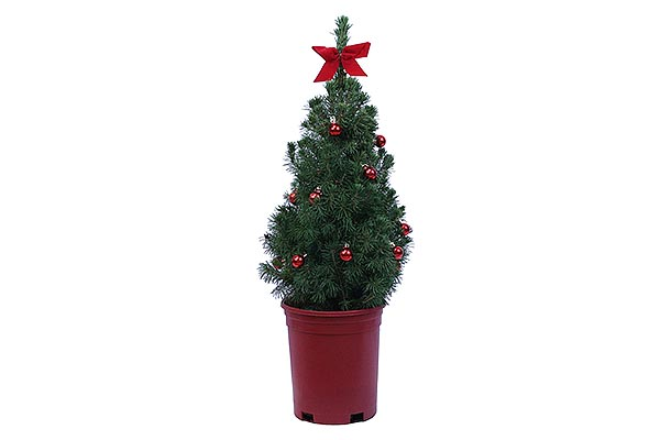 1 Gal Holiday Red Pot Alberta Spruce