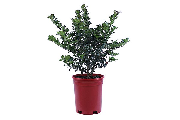 1 Gal Holiday Red Pot Ilex Rutzan
