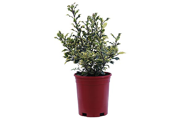 1 Gal Holiday Red Pot Ilex Varietgated