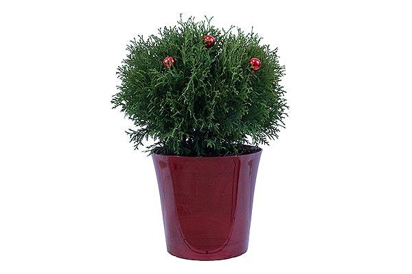 3 Gal Holiday Bella Pot Arborviatae Globe