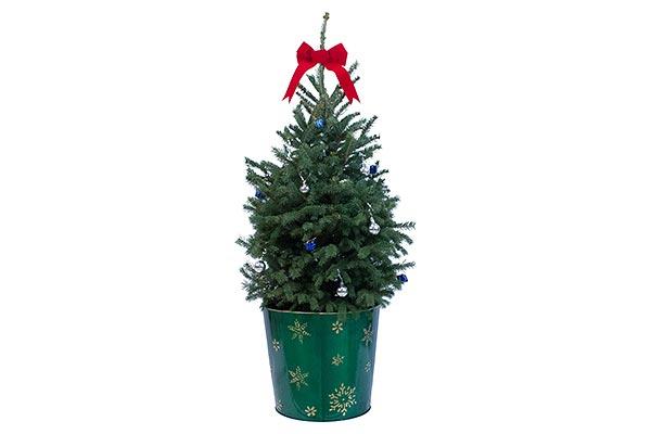 5 Gal Holiday Metal Pot Colorado Spruce