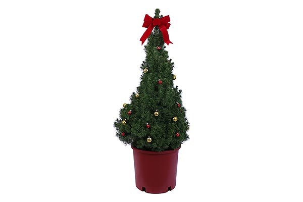 5 Gal Holiday Red Pot Alberta Spruce