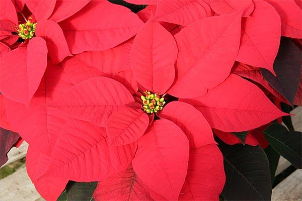 Poinsettias - Red