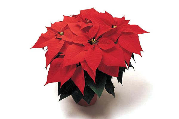 Poinsettias - Freedom Red