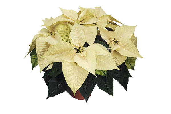 Poinsettias - Freedom White