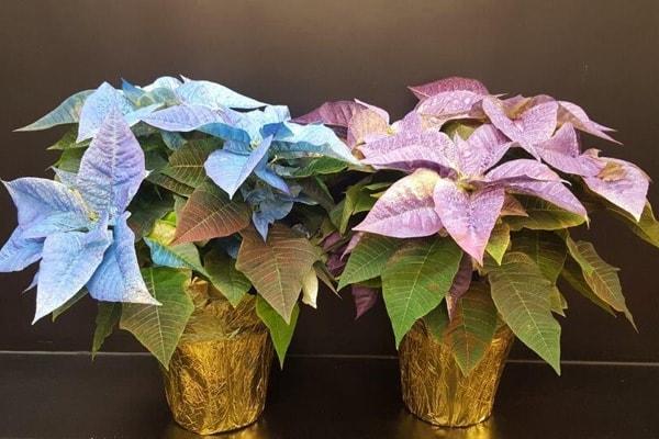 Poinsettias - Painted