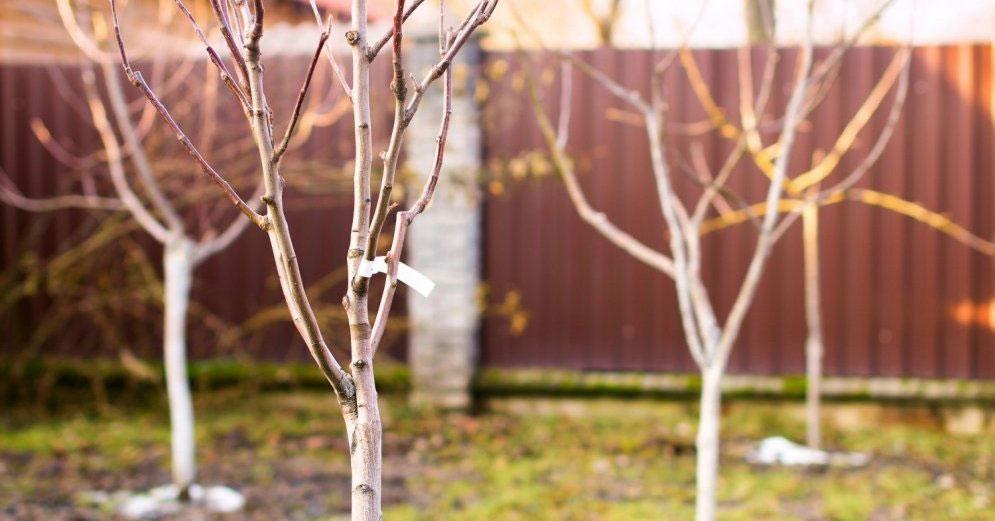 Bareroot Trees